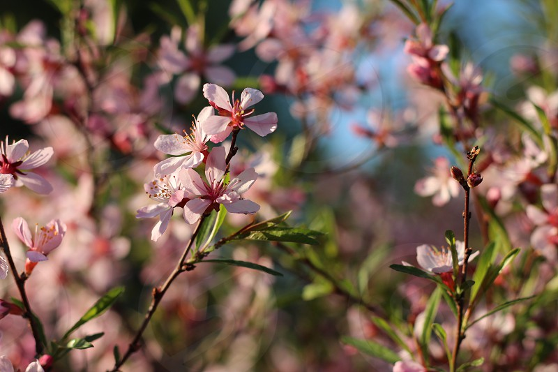 #spring #blooming #almond #flower #pink photo