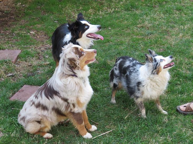 Dogs three play puppies Australian Shepherd photo