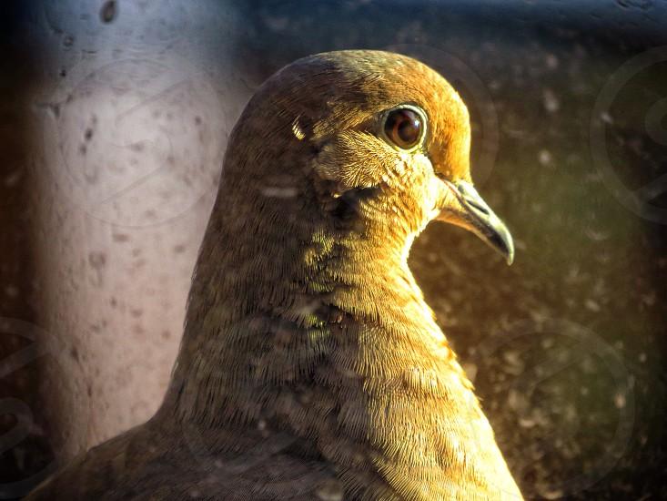 focus photography of Eurasian collared dove photo