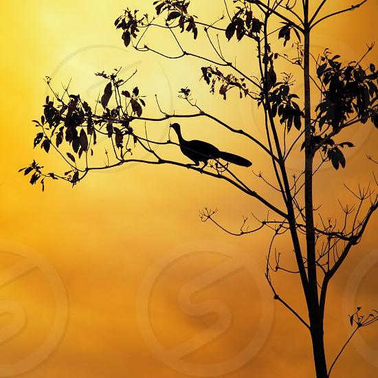 Silhouette of a Great Curassow Costa Rica photo