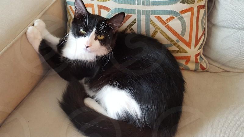 cat feline black white pet domestic photo