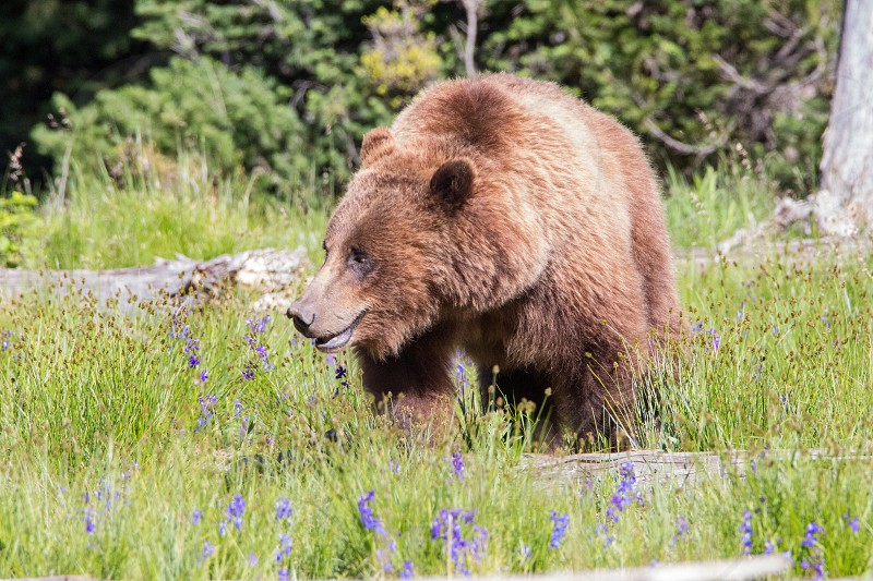 grizzly grizzly bear momma bear yellowstone bear  photo