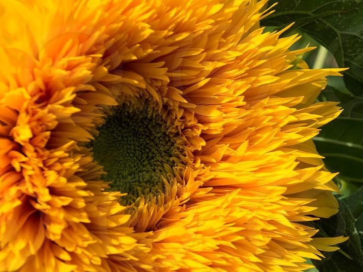Cultivated Hybird Sunflower photo