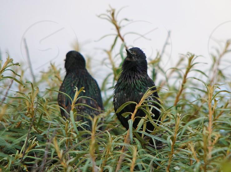 black birds photo