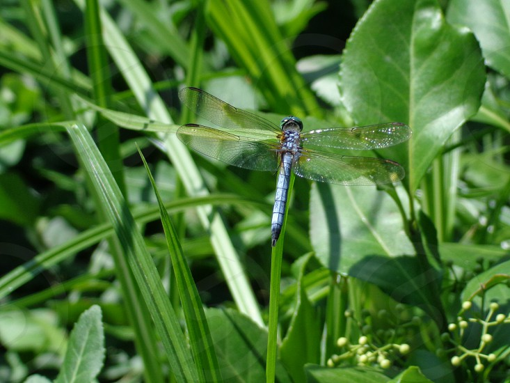 dragonfly foliage green garden wings insect photo