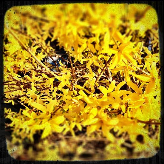 Cheerful yellow forsythia photo