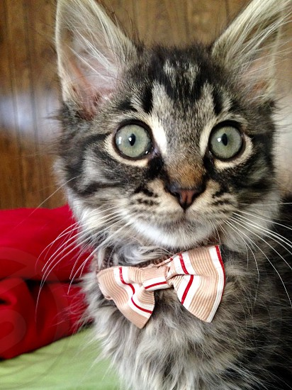 Kitten in bow tie  photo