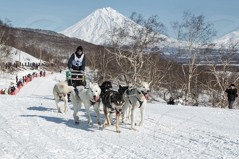 KAMCHATKA YELIZOVO CITY RUSSIA - MAR 2 2013: Kamchatka Dog Sledge Racing Yelizovsky sprint. Dog team is running on snowy slopes on background of volcanoes. Russian Federation Far East Kamchatka. photo
