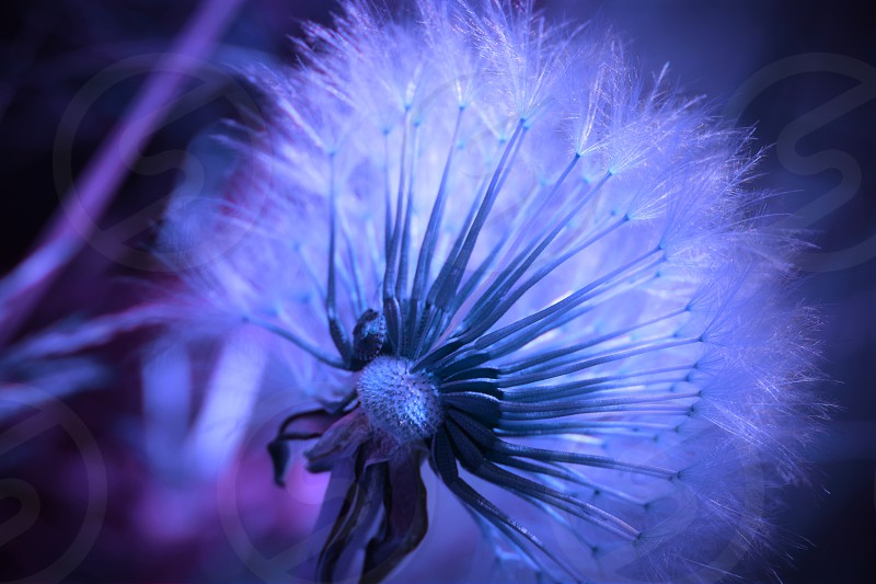 dandelion macrophotography delicate nature natural plant flower blue color garden countryside field spring photo