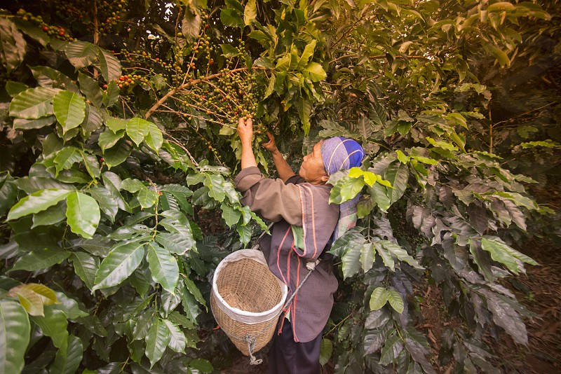 coffee Harvest and earning at the coffee plantation at the town of Mae Salong north of the city Chiang Rai in North Thailand. photo