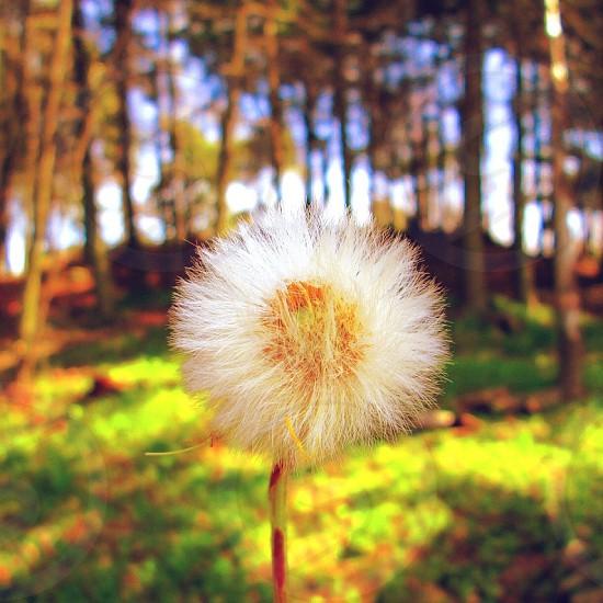 white dandelion plant photo