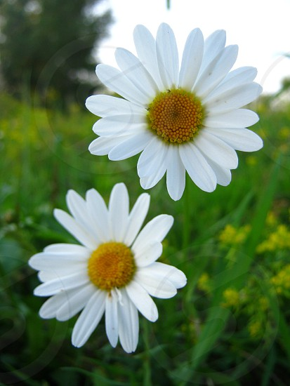 shallow focus photography of two white daisies photo