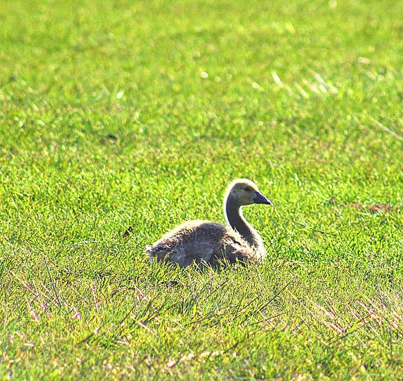 #baby geese # baby animals #geese photo