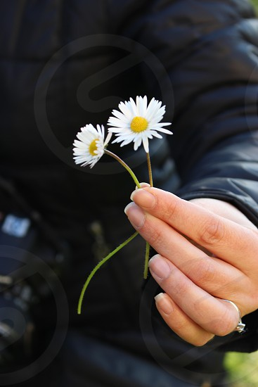 human hand holding two white daisies photo