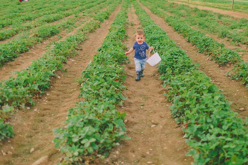 A little boy walking through a very patch picking strawberries.  photo