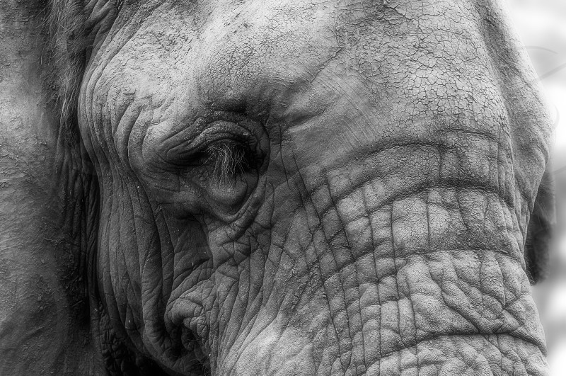 Close-up portrait of the face of an African elephant - Black and white photo