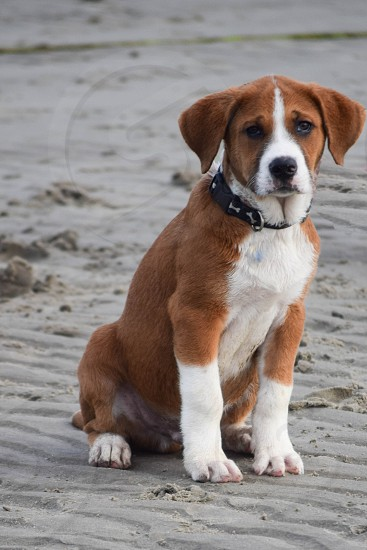 english fox hound mix breed on gray sand during daytime photo