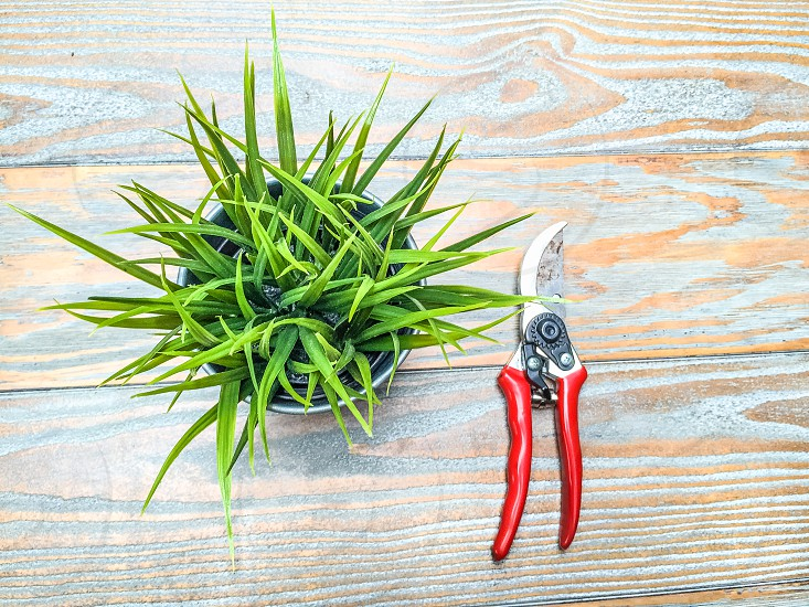 pruning shears beside spider plant photo