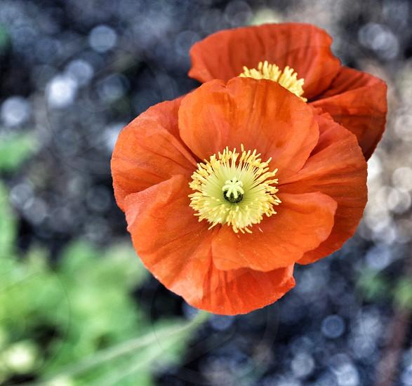 Two Orange Poppies photo
