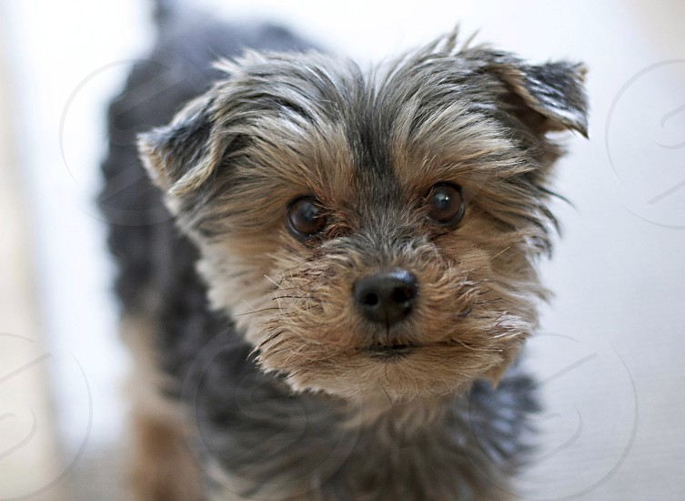 Close-up of cute yorkie terrier blurred background photo