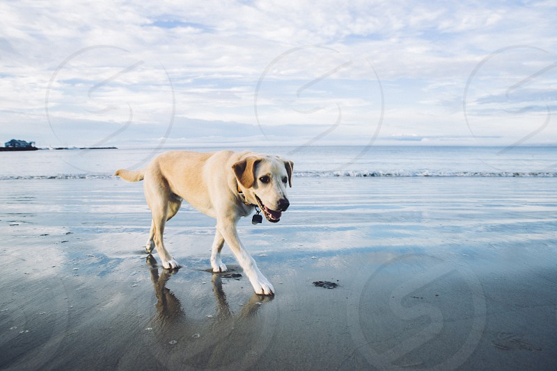 a healthy young dog walking on the beach with cloud reflection. photo