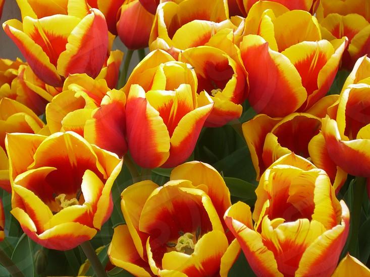 Tulips - Oregon photo