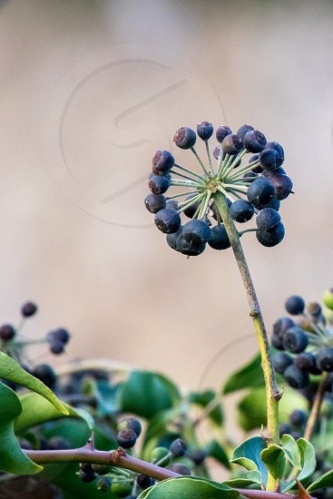 A cluster of Ivy berries in winter photo