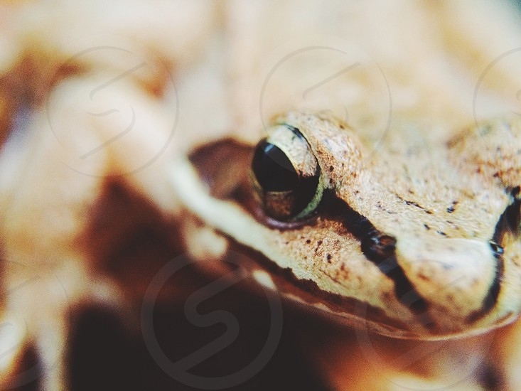 brown and beige frog photo