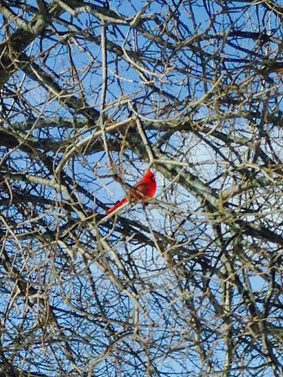 Cardinal in my yard photo
