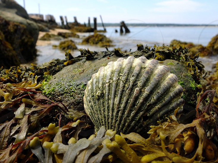 grey and white scallop shell on grey rock with green kelp on shore photo