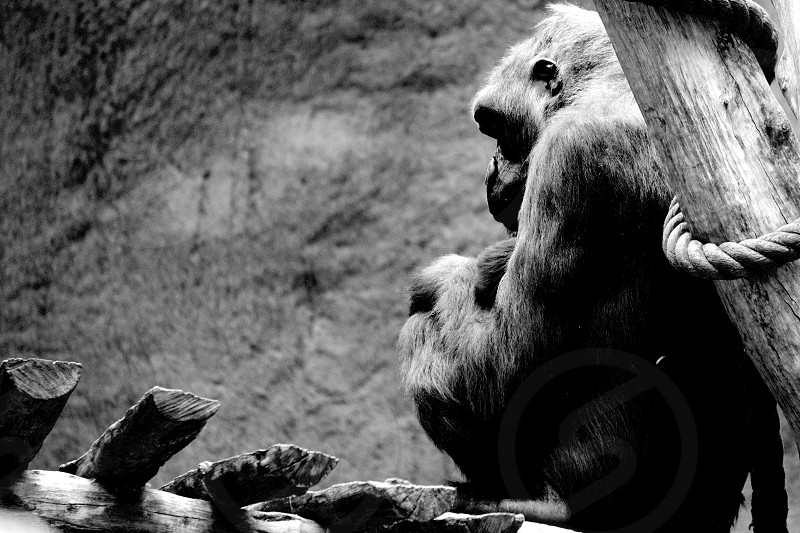 ape human mother black and white zoo captivity black and white photo