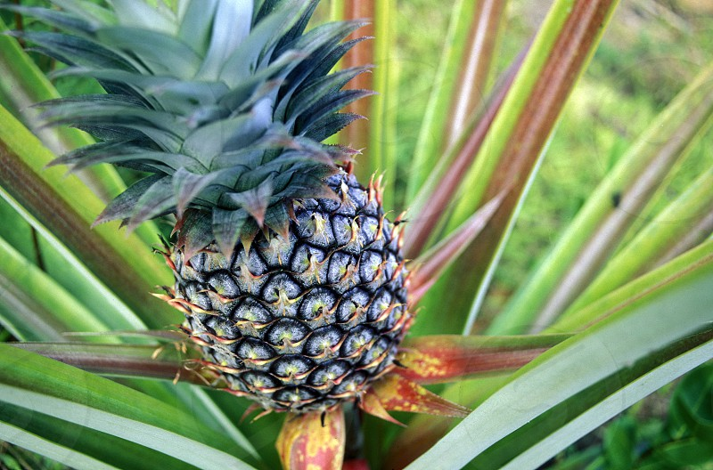 a pineapple plantation on the Island Praslin of the seychelles islands in the indian ocean photo