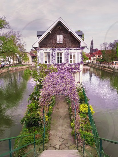 Wonderful purple flowering blue moon wine wisteria covering an arched arbor leading to an old house on a canal island in Petite France Strasbourg Alsace France photo