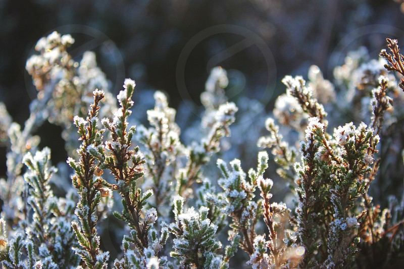 snow covered green plants photo