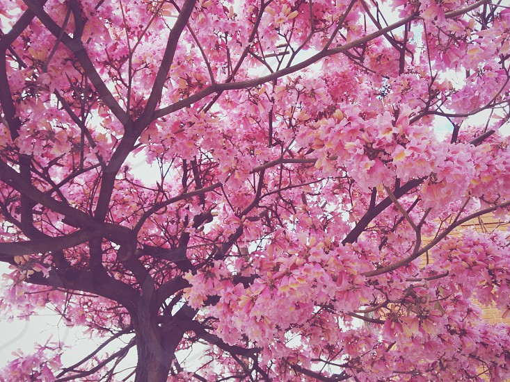 Pink Trumpet tree photo