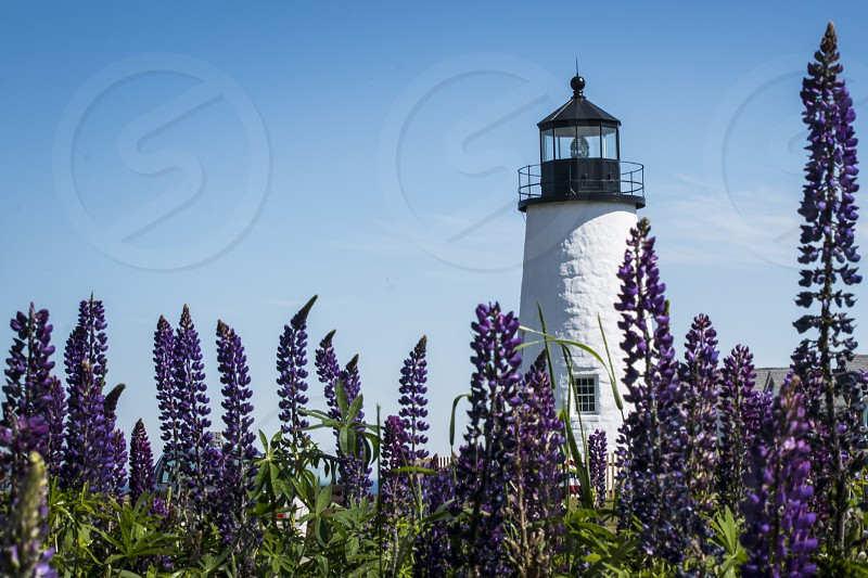 Lighthouse and lupins on the coastline of Maine USA. photo