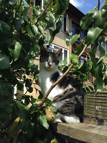 Cat in a pear tree. photo