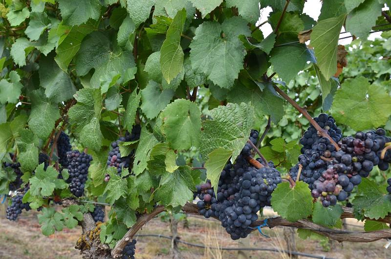 Green grapes vineyard purple wine photo