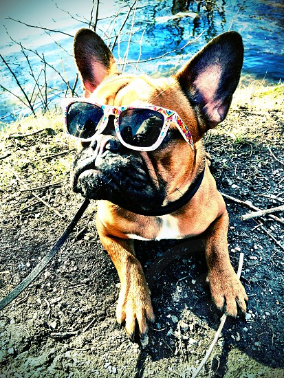 Nelly - my cool french bulldog.  photo