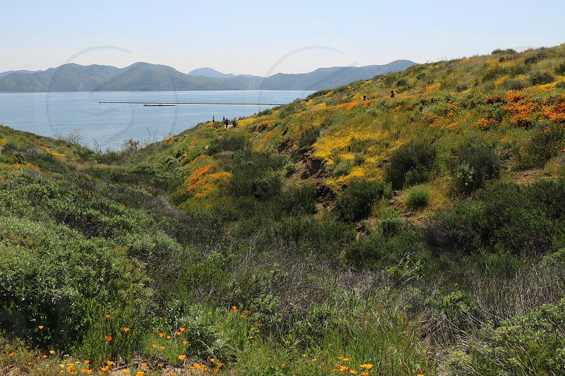 Golden California poppies and purple lupine wildflowers grow in a super bloom near a lake photo