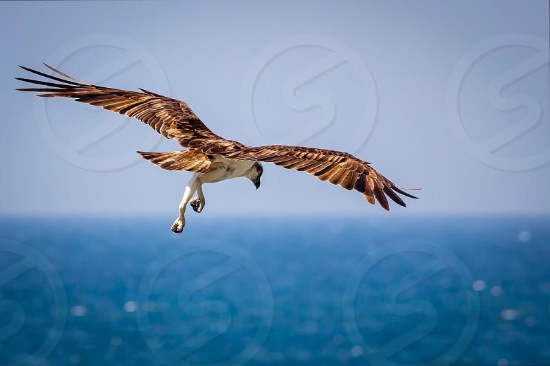 Awesome Lightroom osprey nature photo