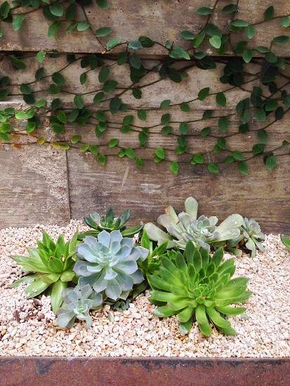 Succulents growing in a bed of crushed granite in front of a vine covered wall. photo