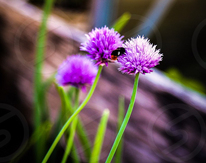 Chives and bumble bee photo