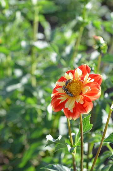 Bees orange yellow dahlias flowers field garden country field pollination  photo