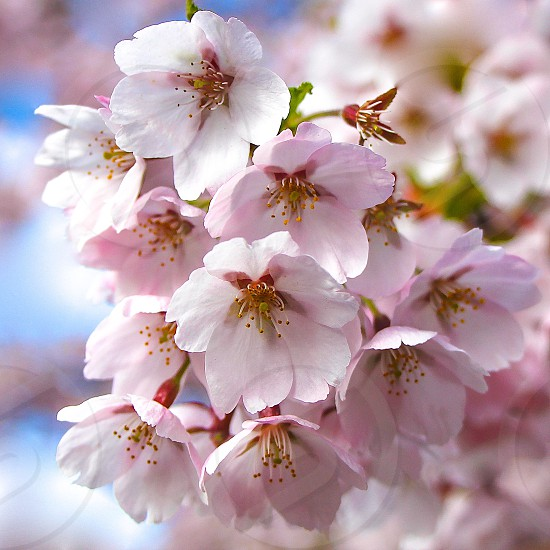 Spring Cherry Blossom Pink Flower photo