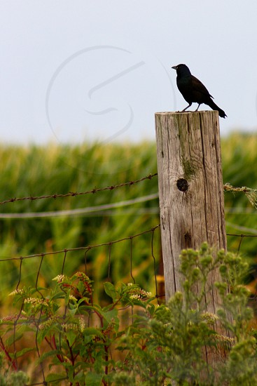 black bird standing on fence post with wire fence photo