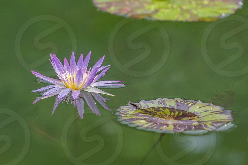 Lotus flower in a pond after the rain. photo