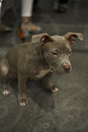 Portrait of an adorable playful purebred American pit bull four month old. photo