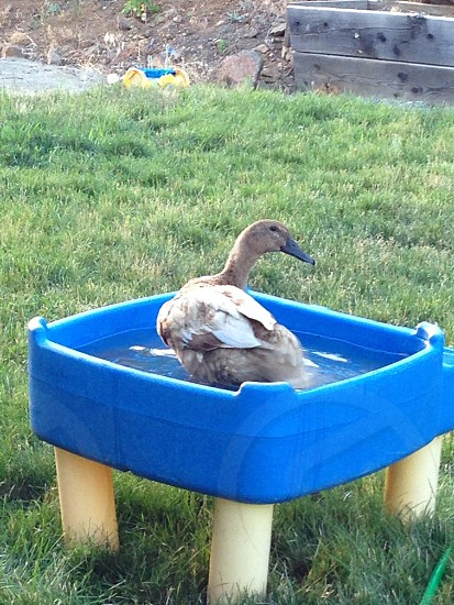 Backyard duck photo