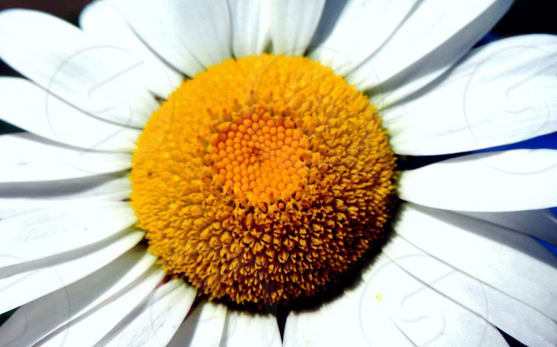 close-up photography of white ox-eyed daisy flower photo